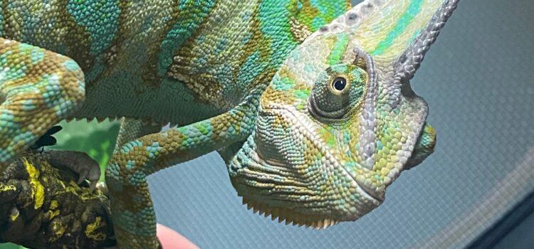 Piccolo the Chameleon